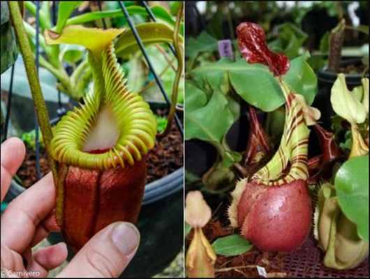 Nepenthes villosa x veitchii BE-4016 *SEED-GROWN* *PRE-SALE*