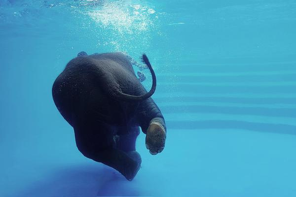 Elephant swimming underwater