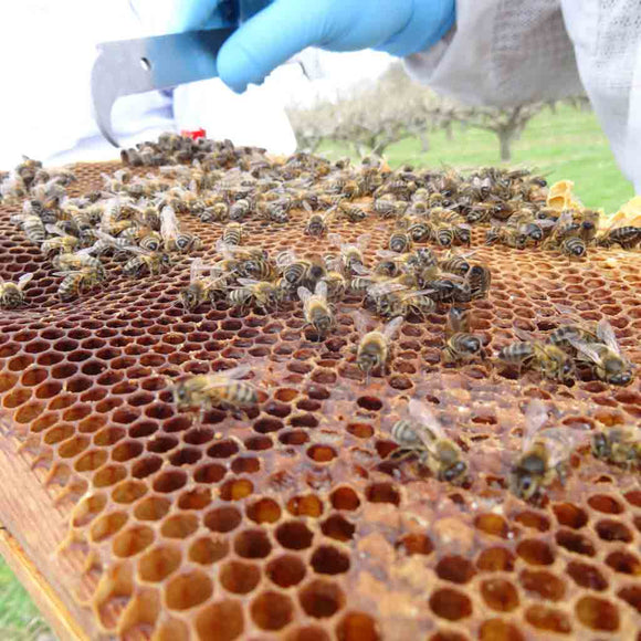 Italian Buckfast Bees in B.S. National Nuc for Delivery