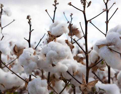 Balls of Cotton Growing. Organic cotton does not use pesticides or harm the environment because they use less or no harmful chemicals. Look for GOTS or OEKO TEX standard