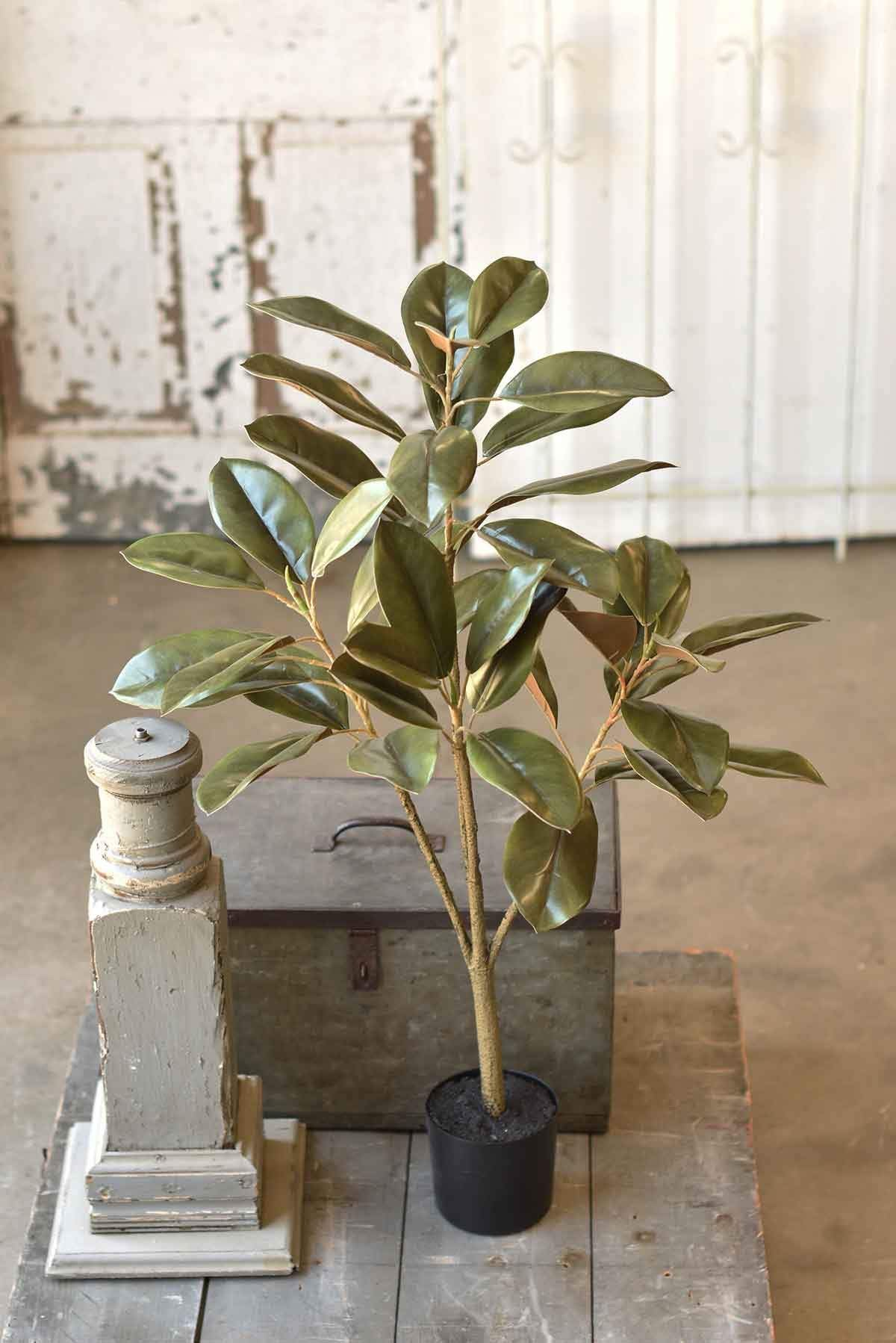 Southern Royalty Magnolia Plant | 36""