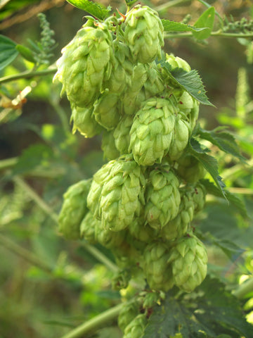 Hops on the bine in Yakima Valley - Sudsy Style - beer fashion for your beer passion