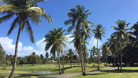 Beautiful conditions at Dorado Beach Pineapple Course