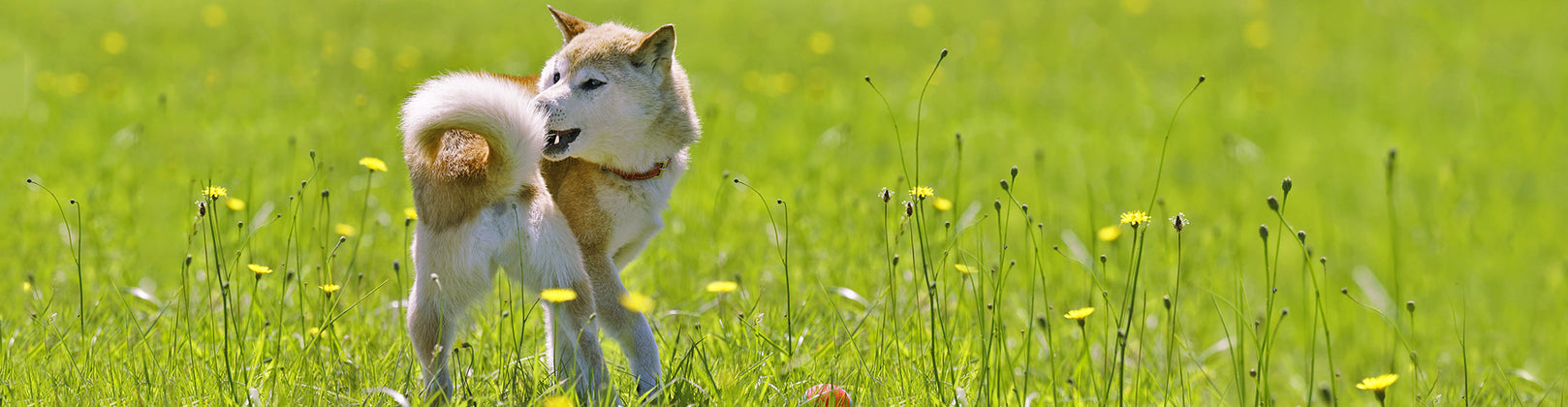 Why Do Dogs Chase Their Tails?