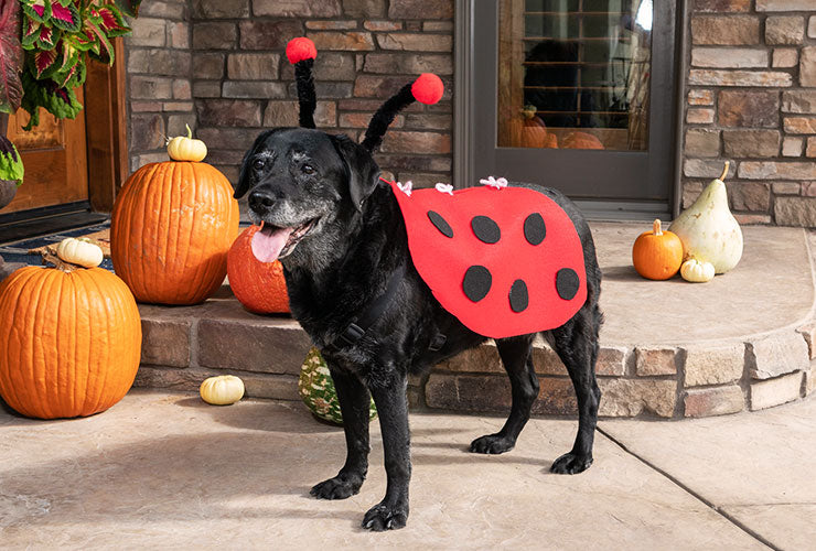 Ladybug costume for Dogs, final product