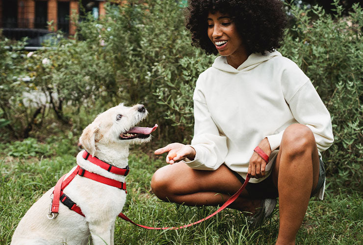 Young woman outdoors giving treat to white dog in red harness