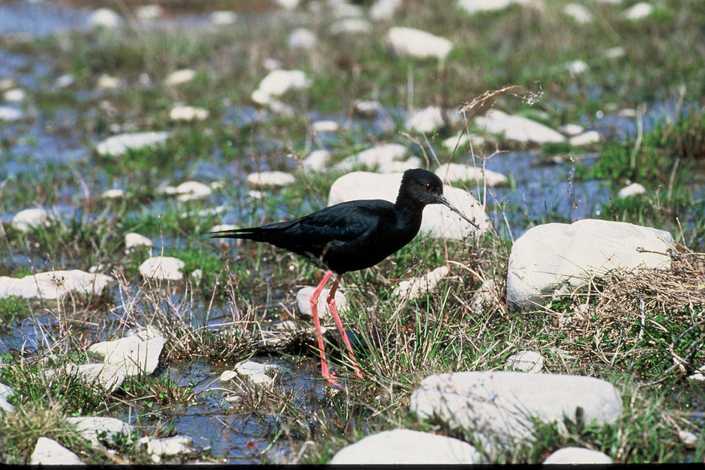 New Zealand Black Stilt Numbers Climb
