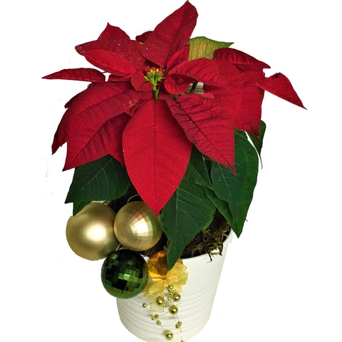 Poinsettia plant in ceramic pot with Christmas baubles and trimmings