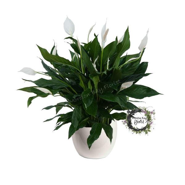 Peace Lily Plant Presentation (Spathiphyllum)