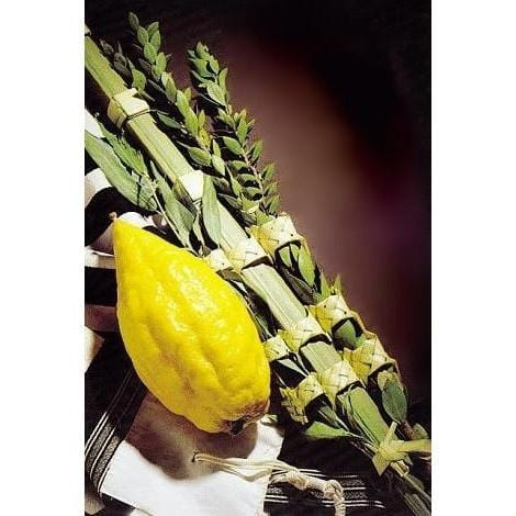 Premium Lulav & Etrog Set. Buy Esrog Set For Sale Lulav Set Premium Esrog