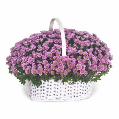 Basket Daisy Flowers_Basket