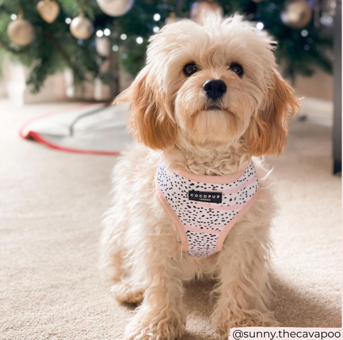 cocopup pink dalmatian harness on dog