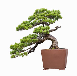 How to Repot a Bonsai Tree