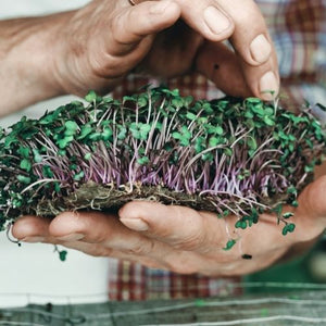A Culinary Herb and Herbal Tea Seed Set Project: Garden Republic's Guide To Growing Microgreens Indoors