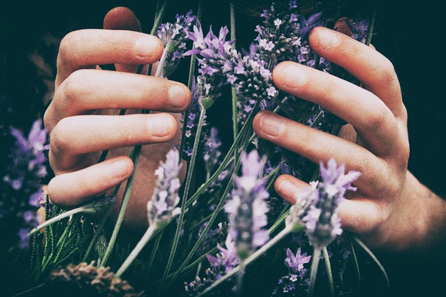 hands cupping lavender plants