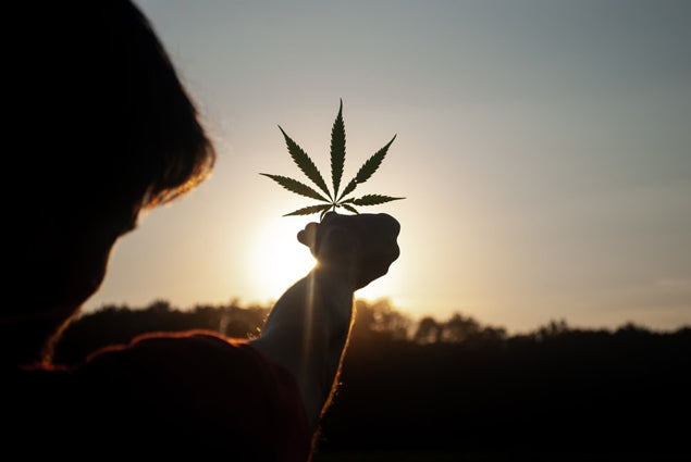 holding cannabis leaf up to the sun