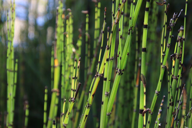 benefits of horsetail detox