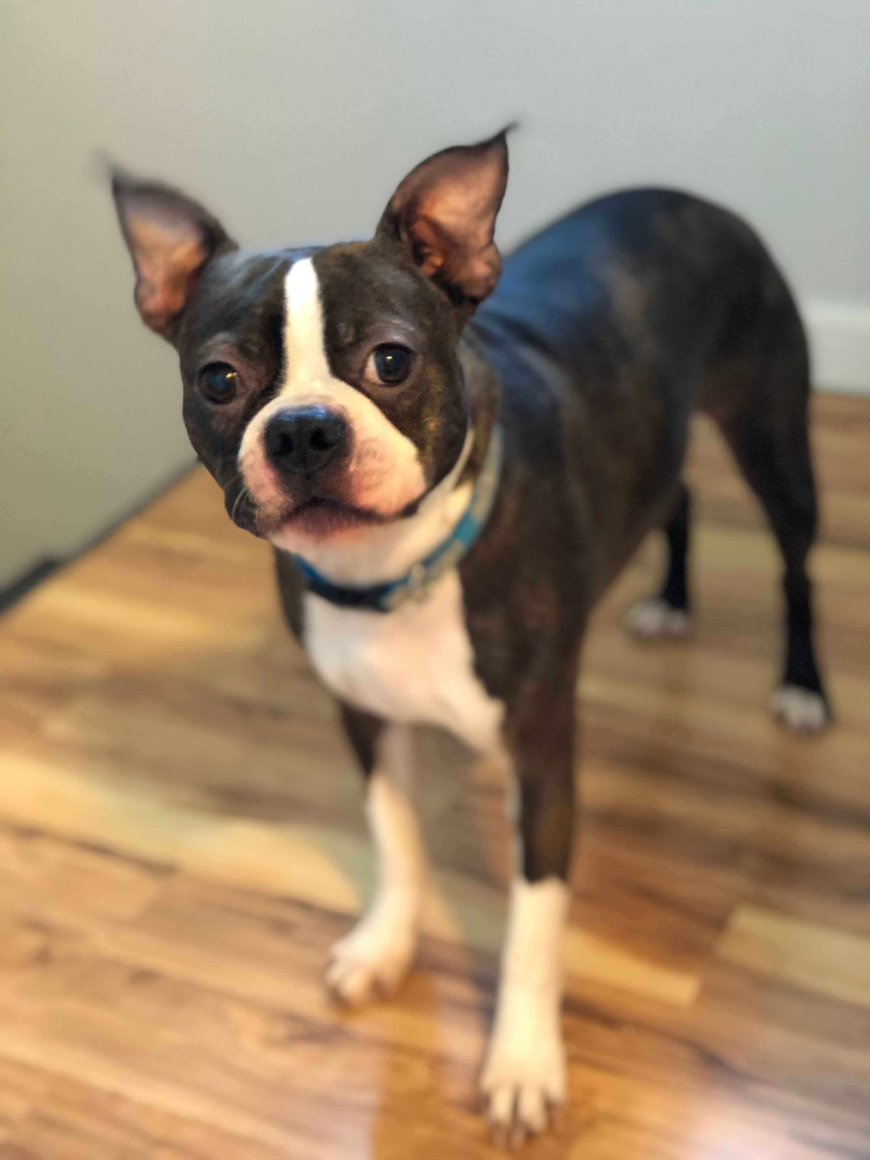 Bowie The Boston Terrier