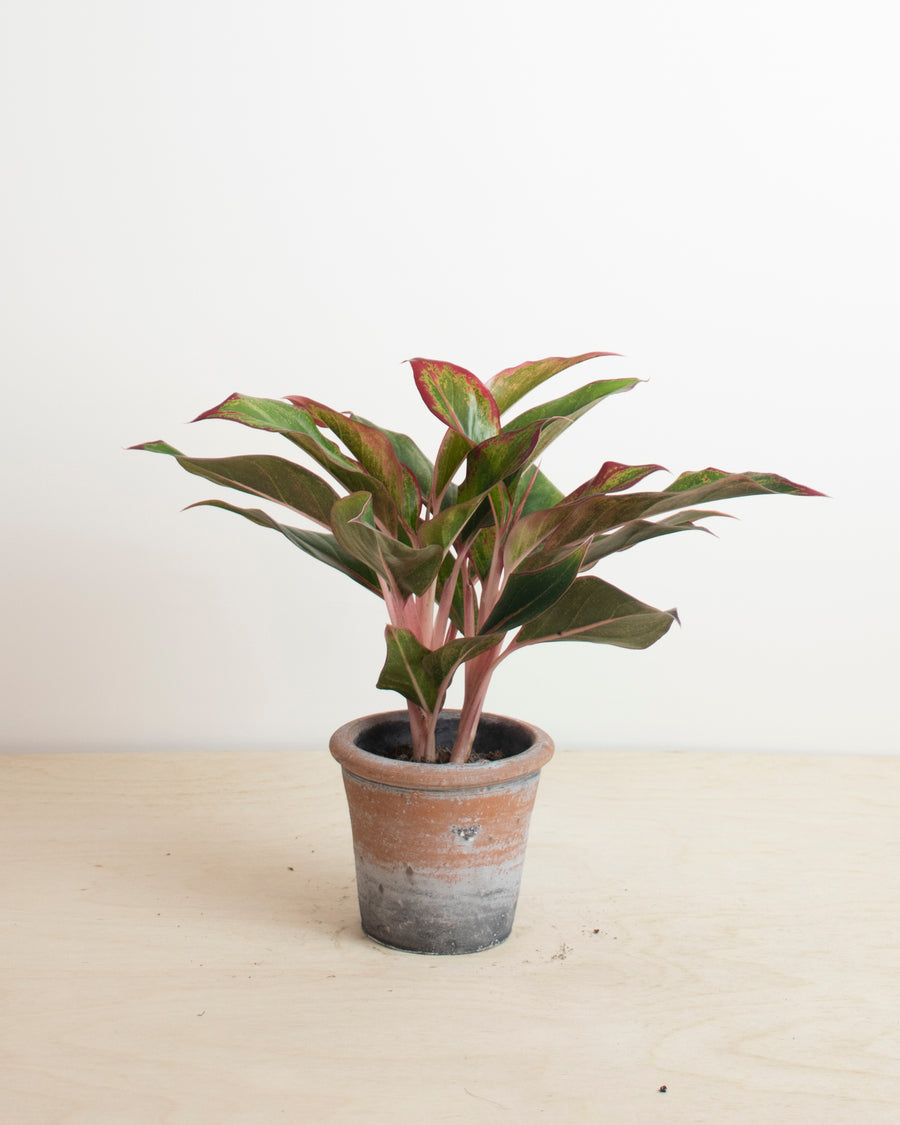 Aglaonema Green/Red