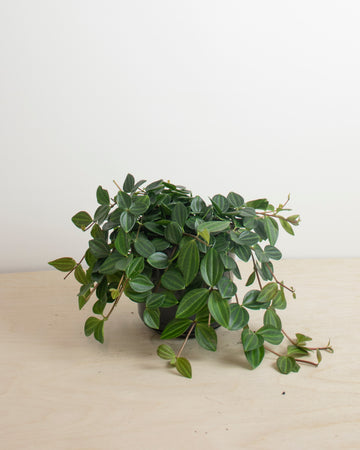 Peperomia Angulata Scuro