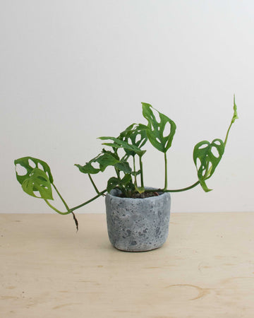 Monstera Adonsonii