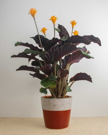 Calathea Crocata 'Eternal Flame'