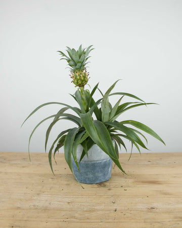 Pineapple Plant with Ceramic Pot