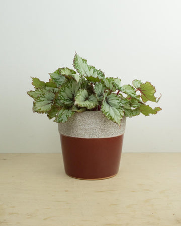 Begonia Rex 'Asian Tundra'