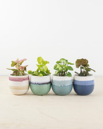 Mini Syngonium with Ceramic Pot