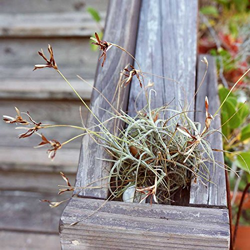 Fresh Harvested North Florida Spanish Moss Air Plant Tillandsia Usneoides Live