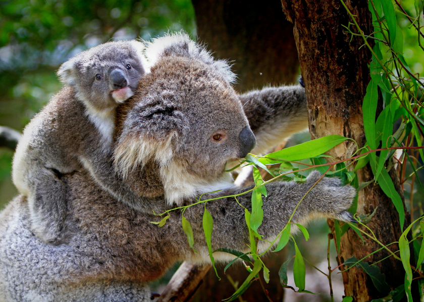 Eucalyptus Tree Koala Bear
