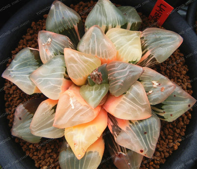 Real Rare Succulent Seeds Perennial Angiosperm Plants Flower Seeds Pseudotruncatella Living Stone Lithops Seeds 100 Pcs/Bag