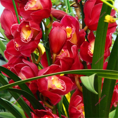100 PCS Chinese Cymbidium Orchid plants Seeds Indoor orchid pot Flowers Seeds Cicada Orchid Seeds - upcube