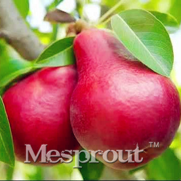 Wholesale Red Pear Seeds(Pyrus communis)Rare organic fruit