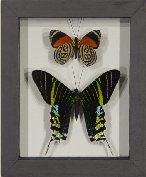 2 Simple Selected Butterflies