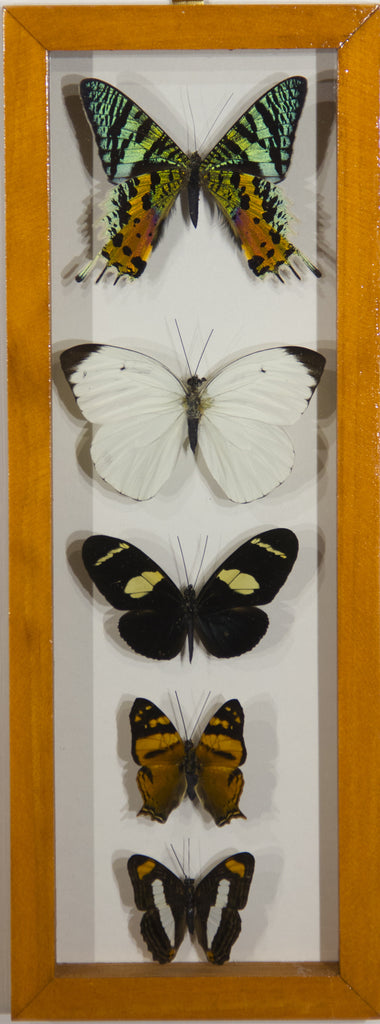 4 Simple + 1 Urania Rypheus Butterfly