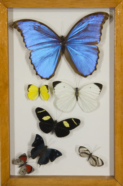 6 Simple + 1 Morpho Butterfly