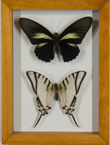 2 Large Butterflies