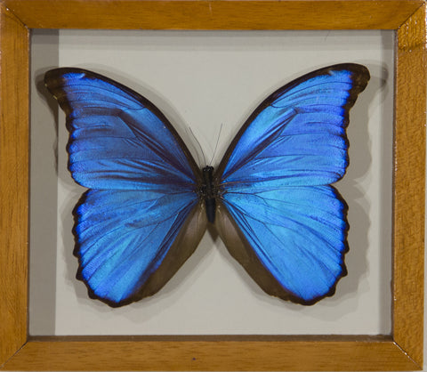 1 Morpho Didius Butterfly