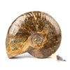 Ammonite Whole #4