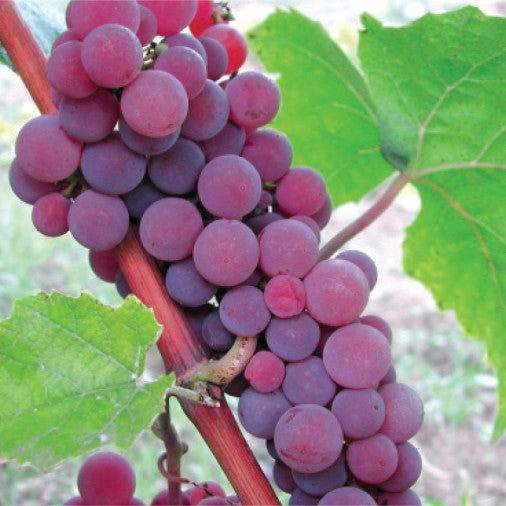 Kitchener Canadice Grapes Master (6 x 3L baskets)