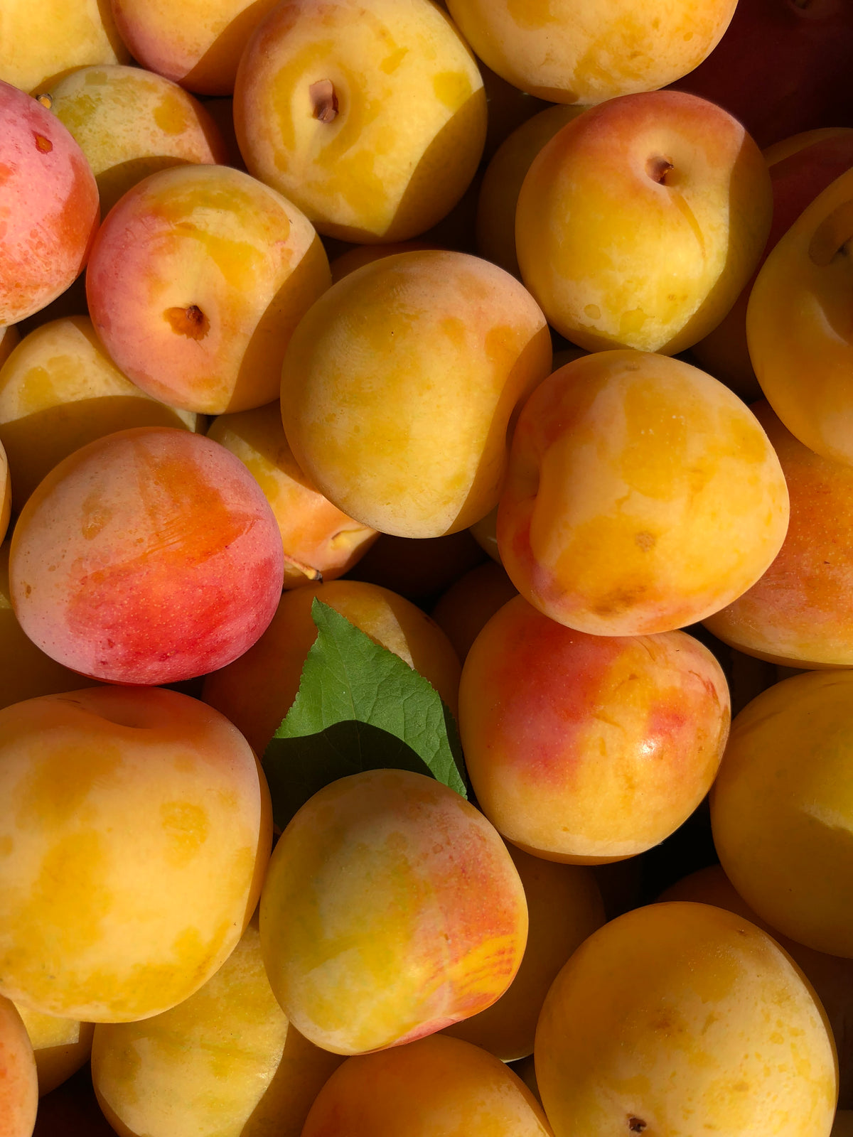 Fertile Ground - Half Box (10lbs) - Early Golden Plums