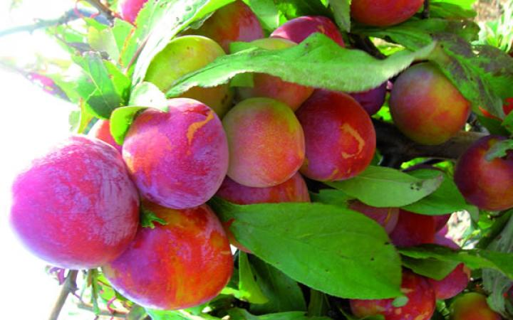 Kitchener Burbank Plums Half Box (12/13lbs)