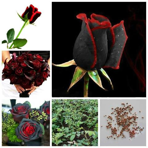 100pcs Beautiful Rare Black Rose Flower Seeds