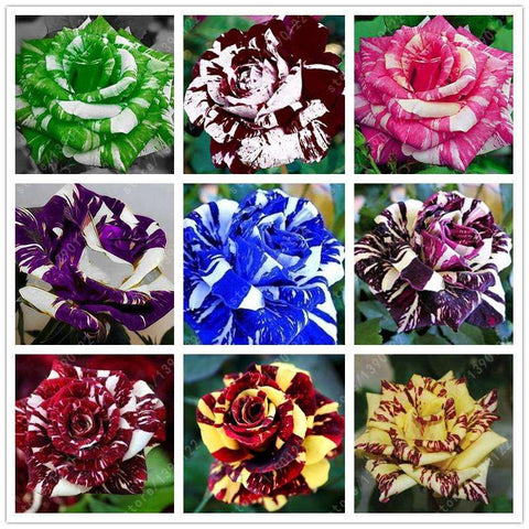100pcs 9 varieties Tiger Striped Rose Plant Seeds
