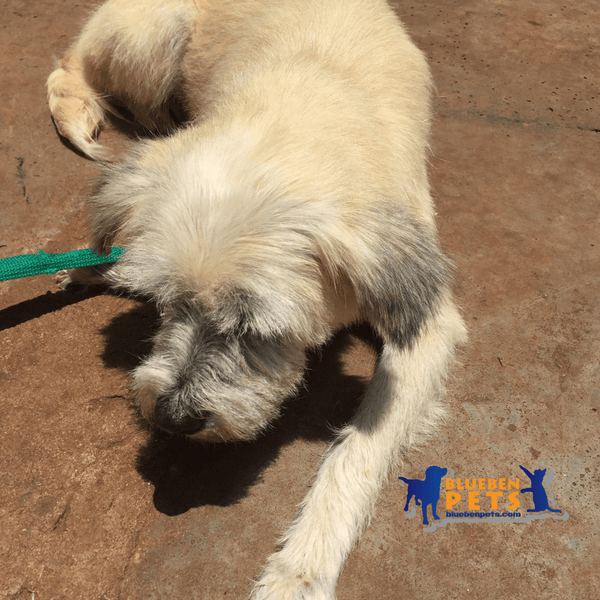 Dog for adoption at uspca uganda