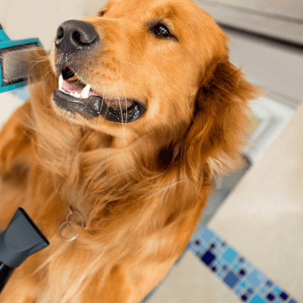 Dog being brushed with a slicker brush and dried with a hand blow dryer