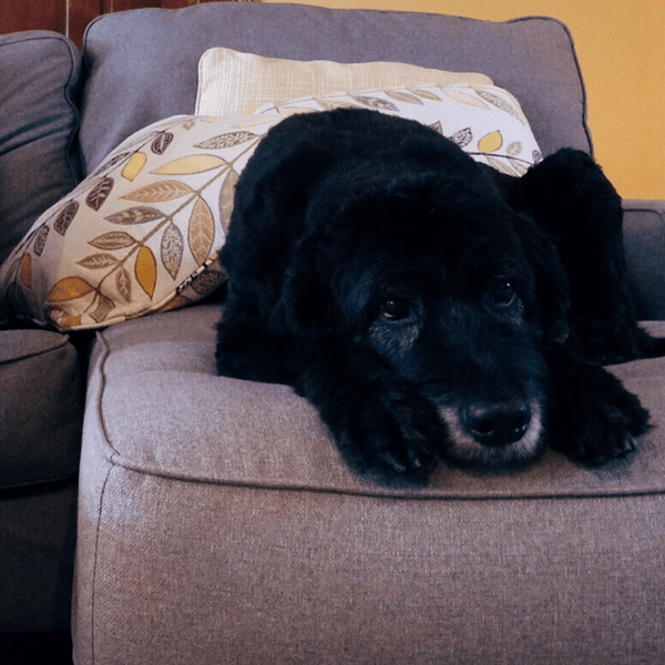 Dog lying on a sofa