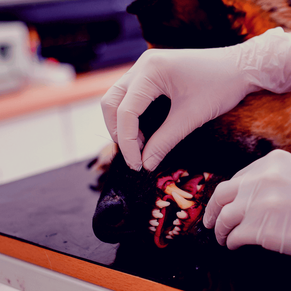 Dog on a table with teeth being shown by a vet wearing gloves