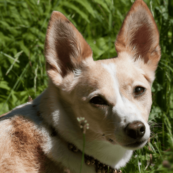 Dog on grass with ears pointing up
